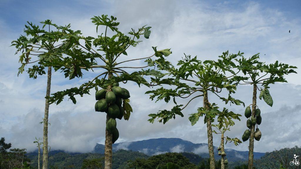 Papayas in den Anden.